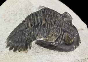 "Bargain, 1.2"" Hollardops Trilobite - Foum Zguid For Sale, #47426"