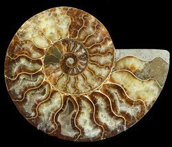 Cleoniceras cleon - Fossils For Sale - #47730