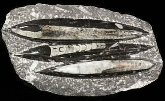 "Polished Orthoceras (Cephalopod) Plate - 9.2"" For Sale, #47981"
