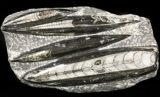 Orthoceras regulare - Fossils For Sale - #47988