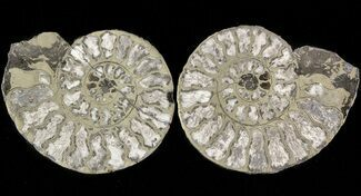 "Buy 1.4"" Pyritized Ammonite Fossil Pair - #48085"