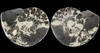 "1.5"" Pyritized Ammonite Fossil Pair For Sale, #48095"