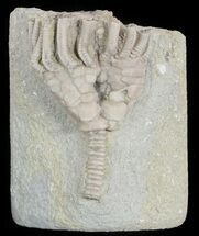 "Bargain, 1.3"" Macrocrinus Crinoid Fossil - Crawfordsville, Indiana For Sale, #48416"
