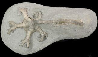 Onychocrinus ulrichi - Fossils For Sale - #48450