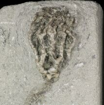 "1.4"" Pachyiocrinus Crinoid - Crawfordsville, Indiana For Sale, #48452"