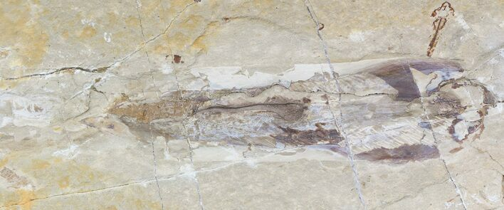 "7"" Cretaceous Fossil Squid - Soft-Bodied Preservation"