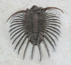 Unidentified Lichid Trilobite From Jorf - Very Rare For Sale, #48638