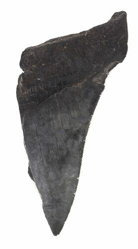 "Partial, Serrated 3.65"" Megalodon Tooth - Georgia"