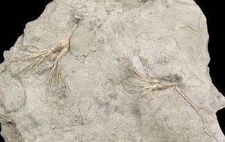 Buy Pair of Cupulocrinus Crinoids - Bobcaygeon Formation - #49219