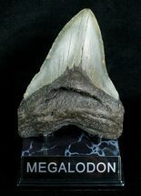 "5.19"" Megalodon Shark Tooth - South Carolina For Sale, #4565"