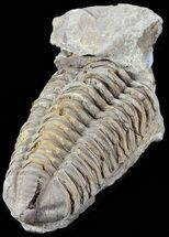 "3.4"" Calymene Trilobite From Morocco - Large Size For Sale, #49652"
