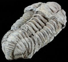 Calymene sp. - Fossils For Sale - #49665