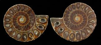 "Buy Small Desmoceras Ammonite Pair - 1.5"" - #49831"