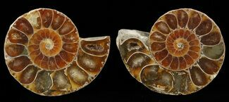 "Small Desmoceras Ammonite Pair - 1.6"" For Sale, #49832"