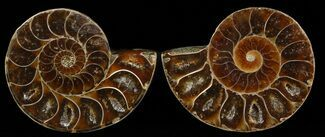 "Buy Small Desmoceras Ammonite Pair - 1.6"" - #49846"
