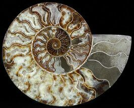 Cleoniceras - Fossils For Sale - #49905