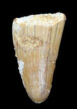 ".93"" Cretaceous Fossil Crocodile Tooth - Morocco For Sale, #50240"
