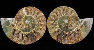 Cleoniceras - Fossils For Sale - #29721