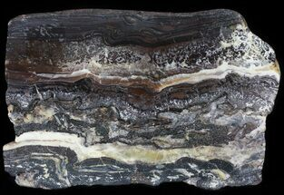 "5.2"" Rare North Pole Dome Stromatolite Slice - 3.49 Billion Years For Sale, #50753"