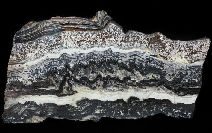 Rare North Pole Dome Stromatolite Slice - 3.49 Billion Years