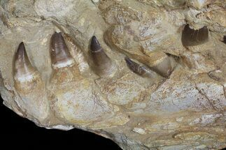 "15.6"" Mosasaur (Prognathodon) Jaw Section With Teeth In Matrix For Sale, #50795"