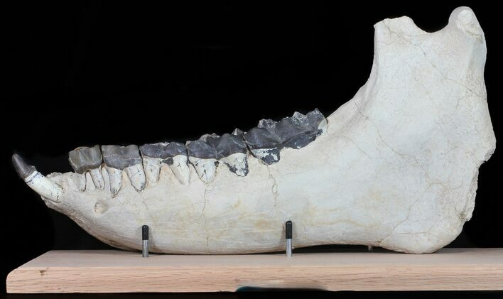 "20.5"" Brontotherium (Titanothere) Jaw - Museum Quality"