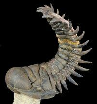 Large Crotalocephalina Trilobite - Flying Preparation For Sale, #49589