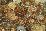 "12"" Plate Made Of Agatized Ammonite Fossils - #51050-3"