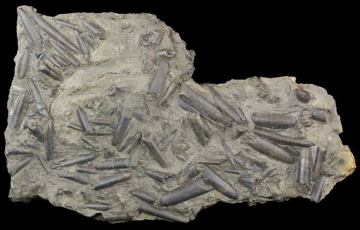 "16"" Wide Belemnite Graveyard With Over 40 Belemnites"