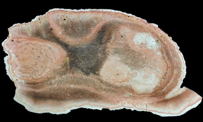 "9"" Petrified Tree Fern (Tietea) Slab - Brazil"