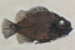 "5"" Cockerellites (Priscacara) Fossil Fish - Wyoming For Sale, #51263"