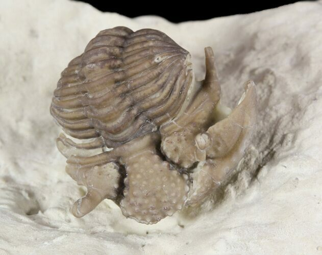 ".9"" Encrinurus Jini Trilobite - Very Rare (Reduced Price)"