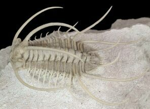 Boedaspis ensifer - Fossils For Sale - #51330