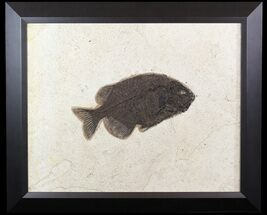 "Buy 10.6"" Phareodus Fossil Fish From Wyoming - Elegantly Framed - #51334"