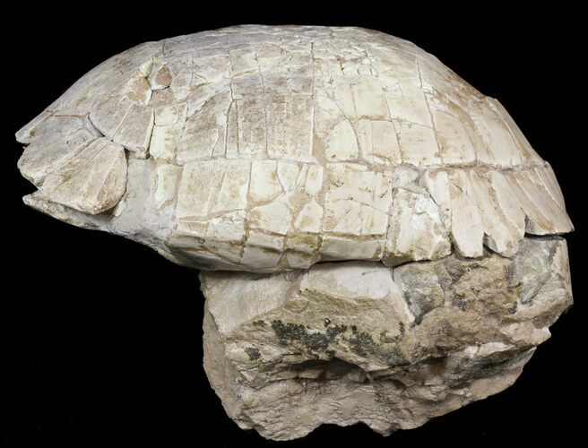 "9"" Fossil Tortoise (Stylemys) From Nebraska - Very Inflated"