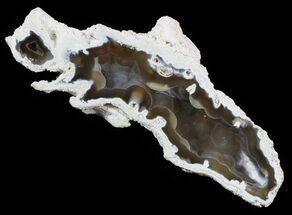 "6.7"" Agatized Fossil Coral Geode - Florida For Sale, #51169"