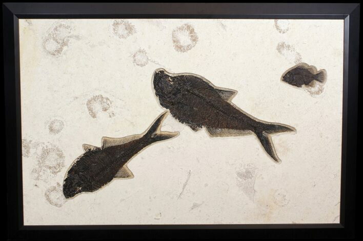 "43"" Wide, Framed Fossil Fish Plate - Green River Formation"