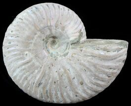 "Buy 3.85"" Silver Iridescent Ammonite - Madagascar - #51508"