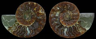 Cleoniceras cleon - Fossils For Sale - #51477