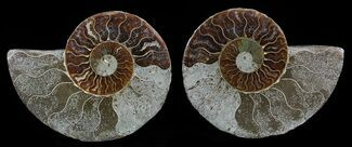 "Buy Bargain, 3.6"" Sliced Fossil Ammonite Pair - 110 Million Years Old - #51478"