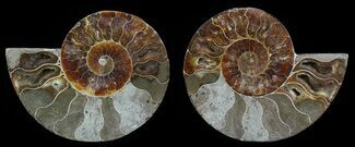 "Bargain, 4.1"" Sliced Fossil Ammonite Pair For Sale, #51479"