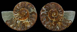 "Buy Bargain, 3.5"" Sliced Fossil Ammonite Pair - #51481"