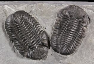 Buy Exceptional Double Eldredgeops Trilobite Plate - New York - #31528