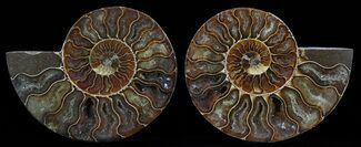 Cleoniceras cleon - Fossils For Sale - #51732