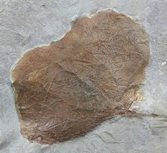 "Buy 2.3"" Fossil Leaf (Zizyphoides flabellum) - Montana - #52243"