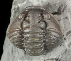 ".85"" Wide, Enrolled Flexicalymene Trilobite In Shale - Ohio For Sale, #52196"