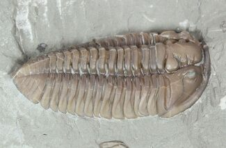 "1.52"" Prone Flexicalymene Trilobite In Shale - Ohio For Sale, #52202"