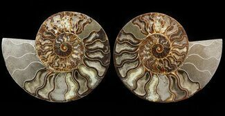 "8.4"" Cut & Polished Ammonite Pair - Agatized For Sale, #51242"