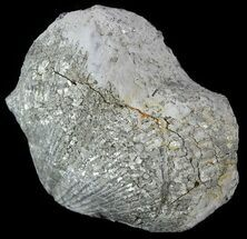 Brachiopods For Sale