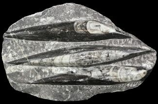 "Buy 6.2"" Polished Fossil Orthoceras (Cephalopod) Plate - #52570"
